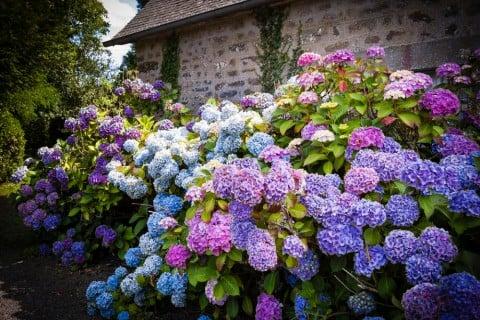 紫陽花は梅雨の華
